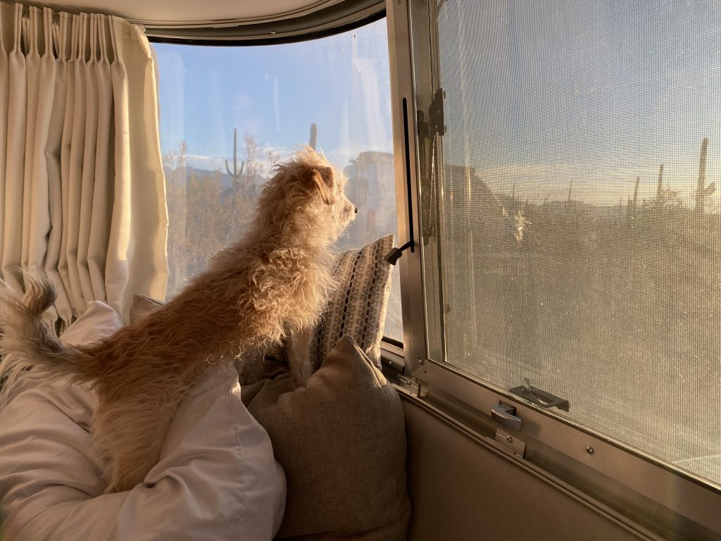 Our dog Mickey enjoying the sunrise out of our Airstream bedroom windows